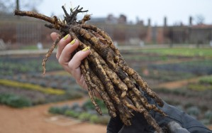 Skirret, Root Vegetable, Tudors, Folkestone, Cantiaci, Kent, Community, Transition Town,