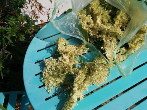 A carrier bag of elderflowers, about 45 flower heads.